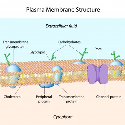 components-of-plasma-membrane