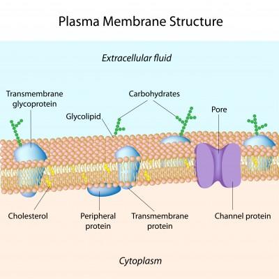 components-of-plasma-membrane