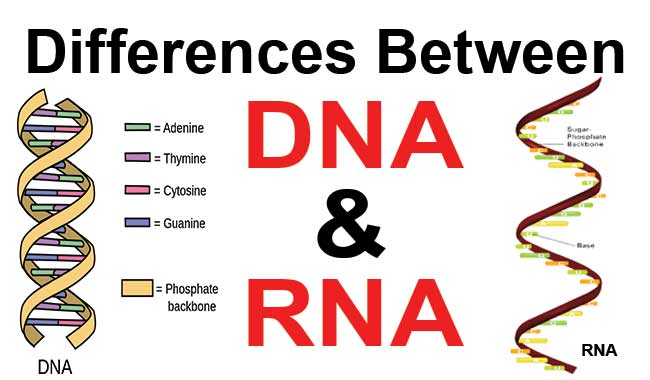 Differences-between-DNA-and-RNA